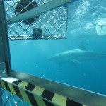 Shark Cage Diving , Eyre Peninsula, South Australia