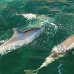 Swim with dolphins, Kangaroo Island, South Australia2