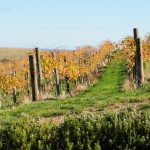 Vineyards at the Retreat Chapel Hill, McLaren Vale, South Australia